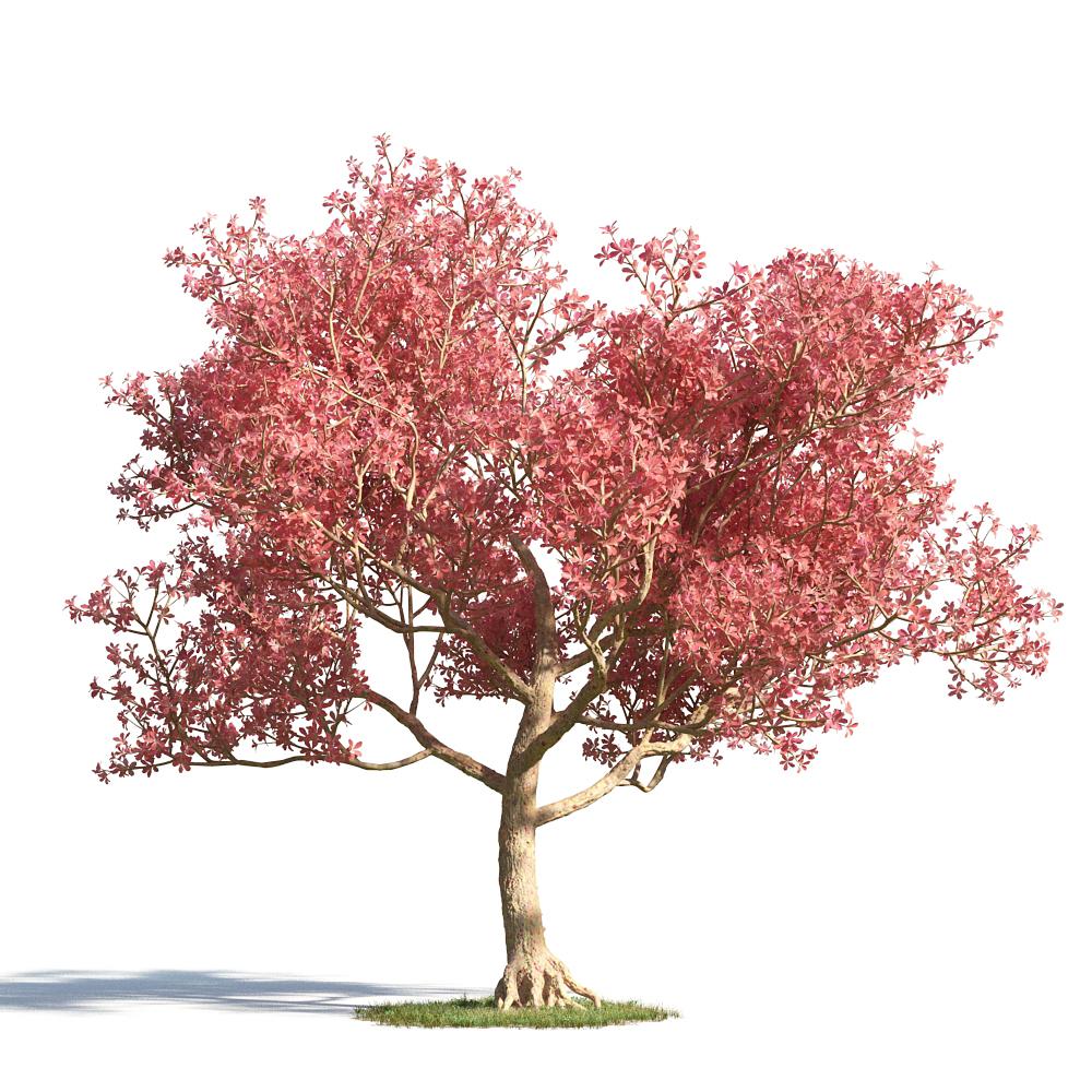 绿色植物套系 树木 美丽异木棉 美人树 Chorisia Speciosa 制作精美的绿色植物,各式各样的花草树木,为您打造一个全生态的大自然场景。 制作精美模型,下载后可用,模型包含贴图和材质。 模型内含面:1498022 模型内含点:1283598 模型贴图:有 模型材质:有 模型内附带材质,下载后可直接使用。