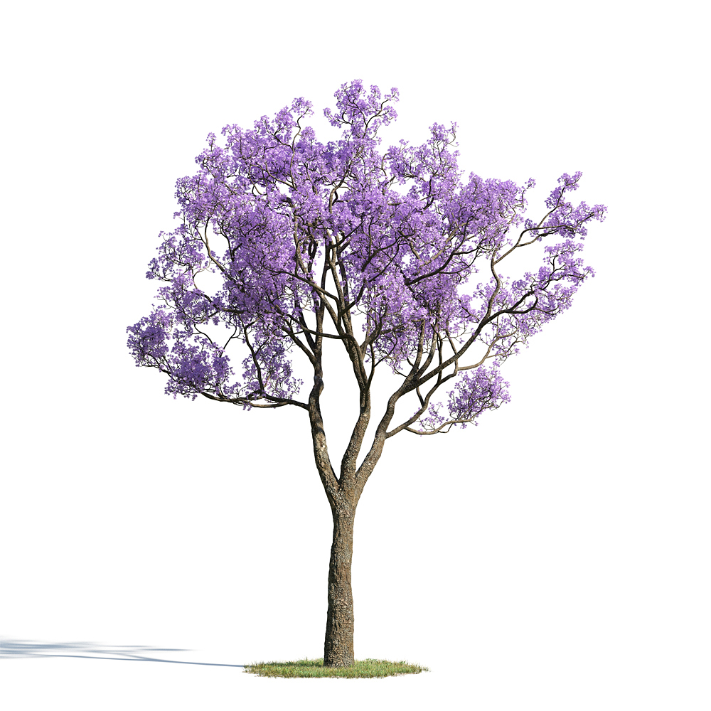 绿色植物套系 树木 蓝花楹 Jacaranda Mimosifolia