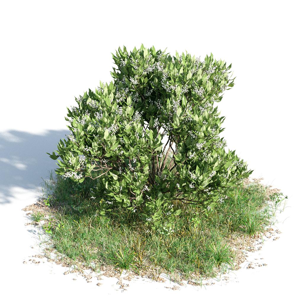 绿色植物套系 花草树木 女贞 Ligustrum Lucidum